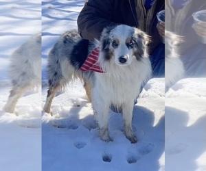 Father of the Australian Shepherd-German Shepherd Dog Mix puppies born on 03/21/2021