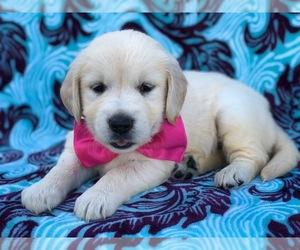 Golden Retriever Dog for Adoption in CHRISTIANA, Pennsylvania USA
