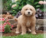 Poodle (Toy) Puppy For Sale in NAPPANEE, IN, USA