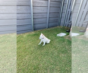 Siberian Husky Puppy for sale in KRUGERVILLE, TX, USA
