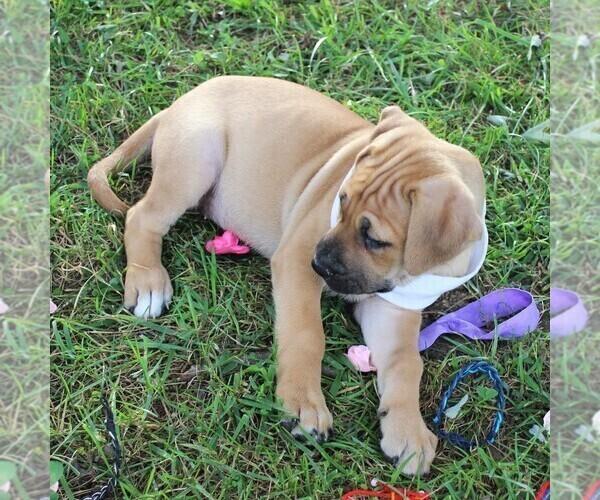 Medium Photo #4 Cane Corso-Labrador Retriever Mix Puppy For Sale in CHARLOTT HALL, MD, USA