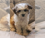 Poodle (Miniature)-Yorkiepoo Mix Puppy For Sale in PALMYRA, PA, USA