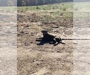Father of the Labrador Retriever puppies born on 09/30/2020
