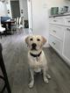 Labrador Retriever Puppy For Sale in ORMOND BEACH, FL
