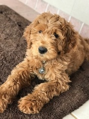 View Ad Goldendoodle Litter Of Puppies For Sale Near Georgia
