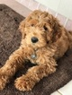 Goldendoodle Puppy For Sale in MARIETTA, GA,