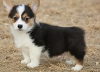 Pembroke Welsh Corgi Puppy For Sale in YOUNGSVILLE, LA, USA