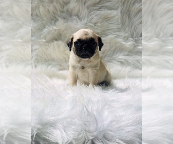 Medium Photo #2 Pug Puppy For Sale in CANTON, CT, USA