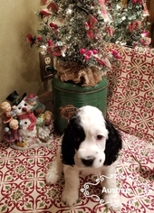 Cocker Spaniel Puppy For Sale in SPRINGFIELD, MO, USA