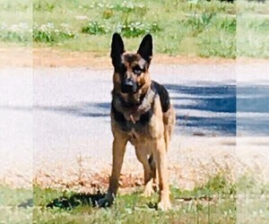 Father of the German Shepherd Dog puppies born on 04/09/2021