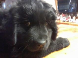 Newfoundland Puppy For Sale in SAN DIEGO, CA, USA