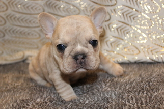 French Bulldog Puppy For Sale in CARMEL, IN, USA