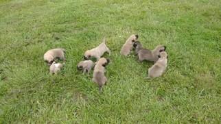 Anatolian Shepherd Puppy For Sale in DE LEON SPRINGS, FL, USA