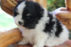 Pomeranian Puppy For Sale in HARRISON, Arkansas,