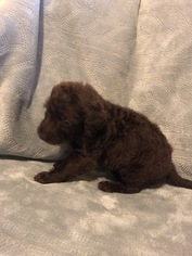 Labradoodle Puppy For Sale in FRUITA, CO, USA