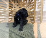 Labradoodle Puppy For Sale in BUTLER, KY, USA