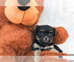 Yo-Chon Puppy for sale in CLEVELAND, NC, USA