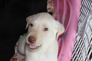Labrador Retriever Puppy For Sale in VIRGINIA BEACH, VA, USA