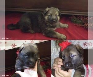 German Shepherd Dog Puppy for Sale in BENNETTSVILLE, South Carolina USA