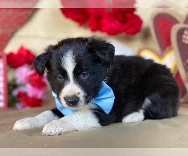 Medium Photo #3 Border Sheepdog Puppy For Sale in LANCASTER, PA, USA