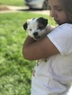 Morkie Puppy For Sale in PALATINE, IL, USA