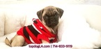 Pug Puppy For Sale in LA MIRADA, CA, USA