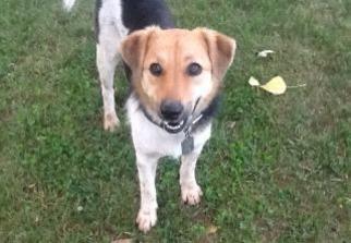 Sprite - Shetland Sheepdog Sheltie / Beagle / Mixed Dog For Adoption