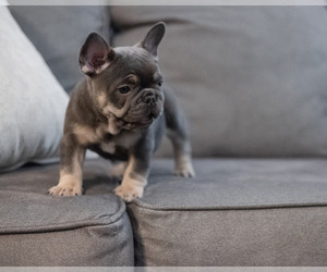 French Bulldog Puppy for Sale in FAYETTEVILLE, Arkansas USA
