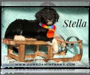 Aussiedoodle Puppy for sale in BURKESVILLE, KY, USA
