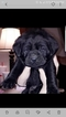 Labrador Retriever Puppy For Sale in BROADWELL, KY, USA