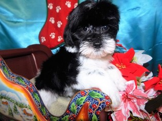 Yorkie-Poo-Yorkiepoo Mix Puppy for sale in HAMMOND, IN, USA