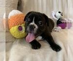Small #16 French Bulldog