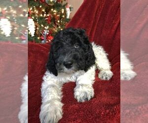 Australian Labradoodle-Labradoodle Mix Puppy for sale in EAGLE MOUNTAIN, UT, USA
