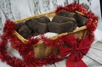 Labrador Retriever Puppy For Sale in VERO BEACH, FL, USA