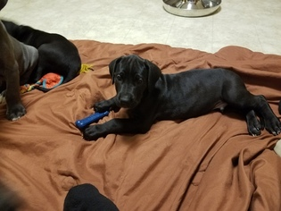 Great Dane Puppy For Sale in LEWISBURG, PA, USA