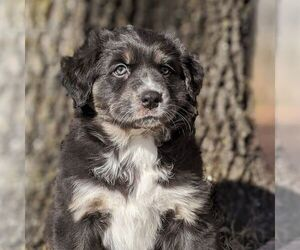 Australian Shepherd Puppy for sale in HOHENWALD, TN, USA