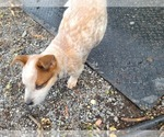 Small #4 Australian Cattle Dog
