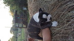 Olde English Bulldogge Puppy For Sale in SANTA FE, TX