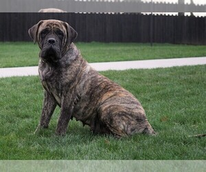 Mother of the Mastiff puppies born on 10/13/2020