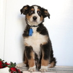 Australian Shepherd Puppy For Sale in GAP, PA, USA
