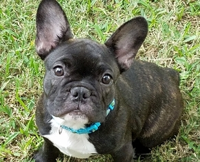 View Ad French Bulldog Puppy For Sale Near Texas Denison Usa Adn