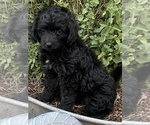 Small #1 F2 Aussiedoodle