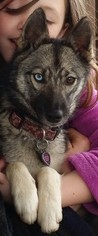 Alaskan Husky-Alaskan Klee Kai Mix Puppy For Sale in GRESHAM, OR