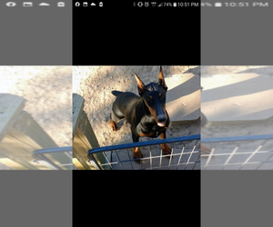 Doberman Pinscher Puppy for sale in PLEASANT HOPE, MO, USA
