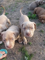 American Bully Puppy For Sale in PATTERSON, IA, USA