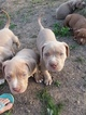 UKC American Bully Puppies
