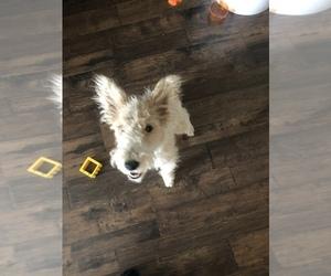 Wire Fox Terrier Dog for Adoption in SACRAMENTO, California USA