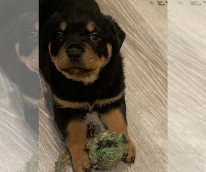 Rottweiler Puppy for sale in CANONSBURG, PA, USA