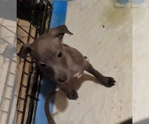 Italian Greyhound Puppy for sale in GRAHAM, WA, USA