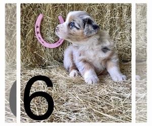 Australian Shepherd Puppy for sale in AUSTIN, AR, USA